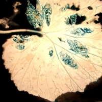 Lumen print Begonia leaf