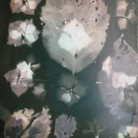 Lumen print Hydrangea