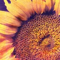 Casein pigment print Sunflower