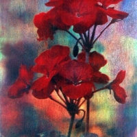 Gum bichromate The Geranium
