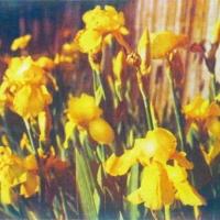 Casein pigment print Floral Yellow Irises Along Garland Avenue