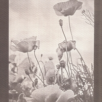 Vandyke Poppy seeds