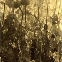 Orotype Roger Kockaerts Opium Field