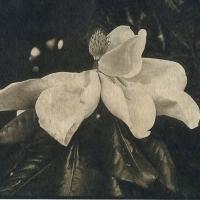 Coffe toned cyanotype Magnolia Bloom