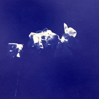 Cyanotype Floating Orchids
