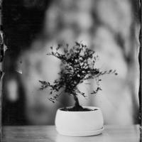 Wetplate Bonsai 1
