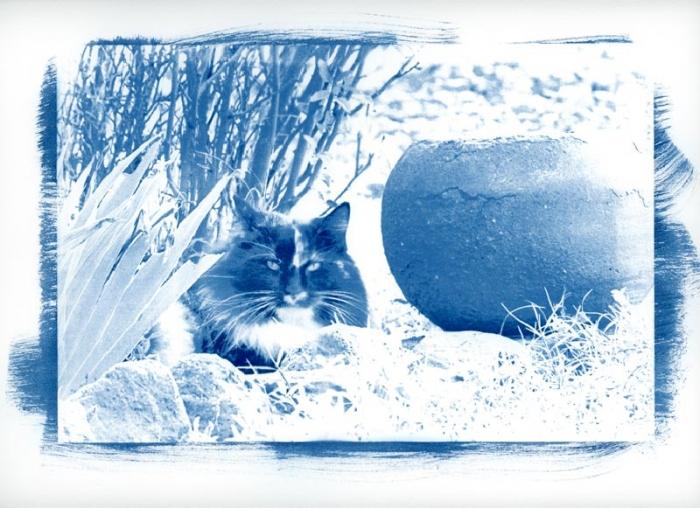 Cyanotype Glaring Cat