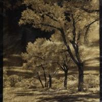 Palladium Cottonwoods
