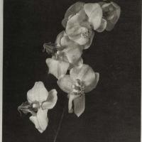 Palladium Orchids in Platinum