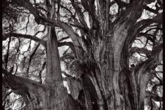 Carbon print The Tule Tree