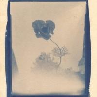 Cyanotype Cyanemone