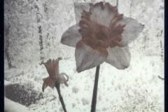 Gum over cyanotype Daffodils Aghast
