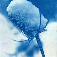 Cyanotype Thistle