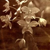 Saltprint Orchids