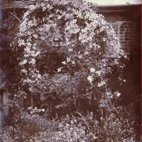 Wetplate collodion Clematis Goldtoned