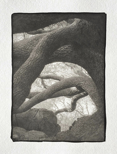 Platinotype-Old-Oak