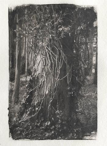 Platinotype-Vines-Eucalyptus