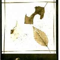 Photogram Alder Leaves 1