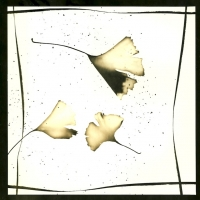 Photogram Ginko Leaves