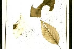 Photogram Alder Leaves 1
