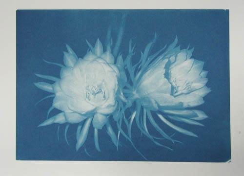 Cyanotype Night bloom 2