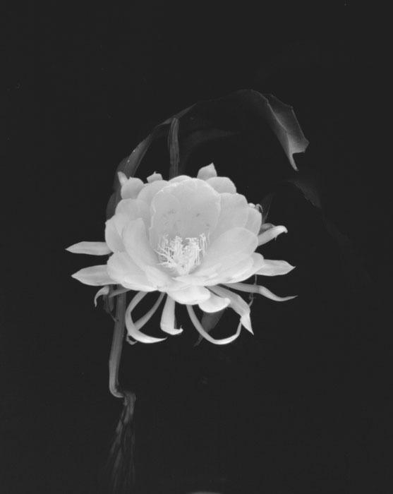 Pinhole-night-bloom