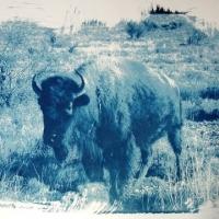 Cyanotype Buffalo
