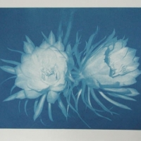 Cyanotype Night bloom 2