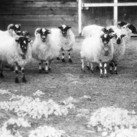 Infrared film Sheep