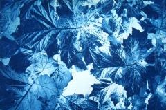 Cyanotype Oyster_Plant