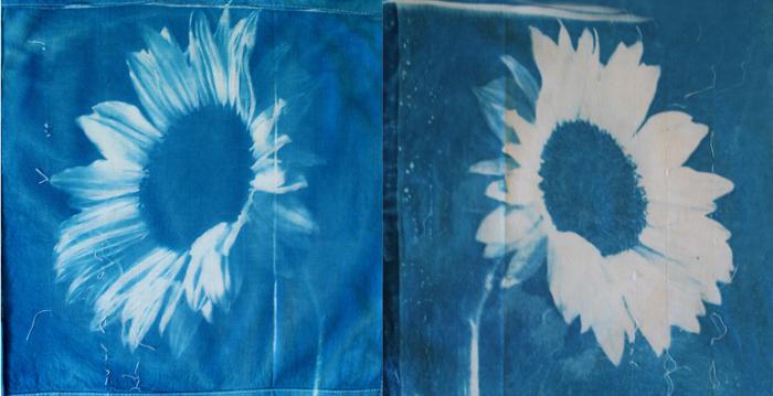 Chris-Byrnes-Australia-Sunflower