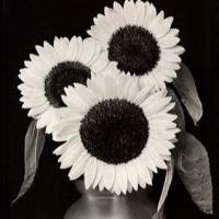 Argyrotype Three sunflowers