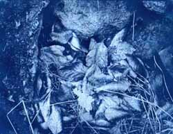 The image left as a Cyanotype.