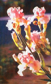 Irises Along Garland Avenue, 2008 © Casein Pigment Print