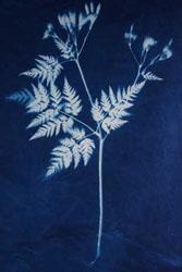 Photogram of fennel on cotton.