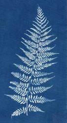 Photogram of fern on cotton.
