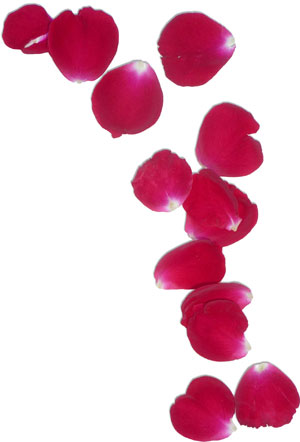 Rose petals used to make anthotype prints